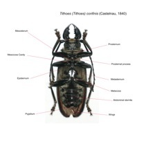 Cerambycidae Prioninae Tithoes confinis Vue ventrale