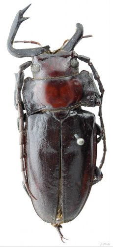 Notophysis forcipata